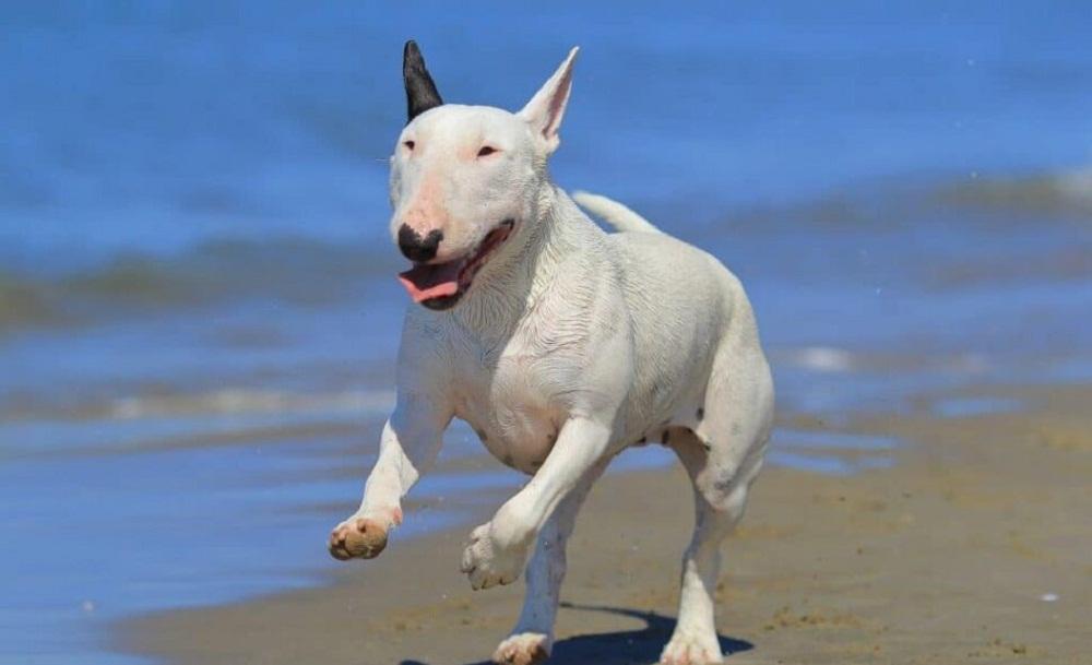 Bull-Terrier-e1614188989207