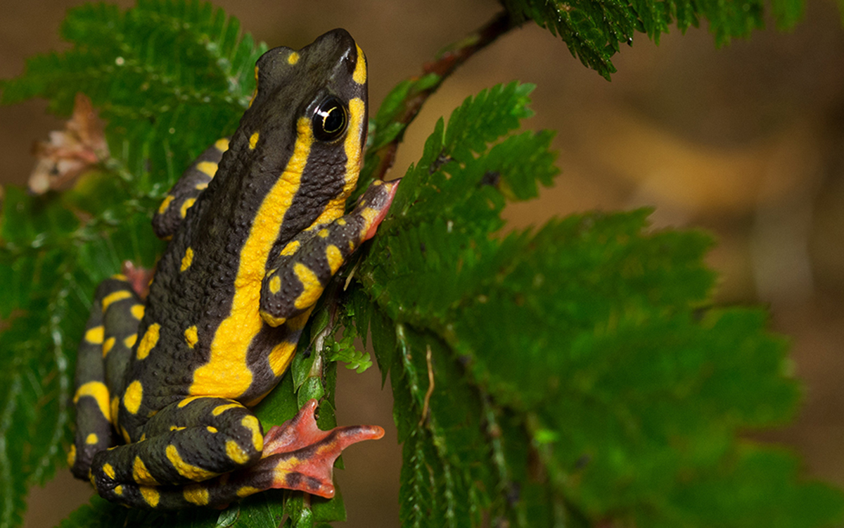 atelopus-tricolor-1_formatted