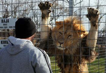 عاقبت بالا رفتن از دیوار محل نگهداری شیرها در باغ وحش!