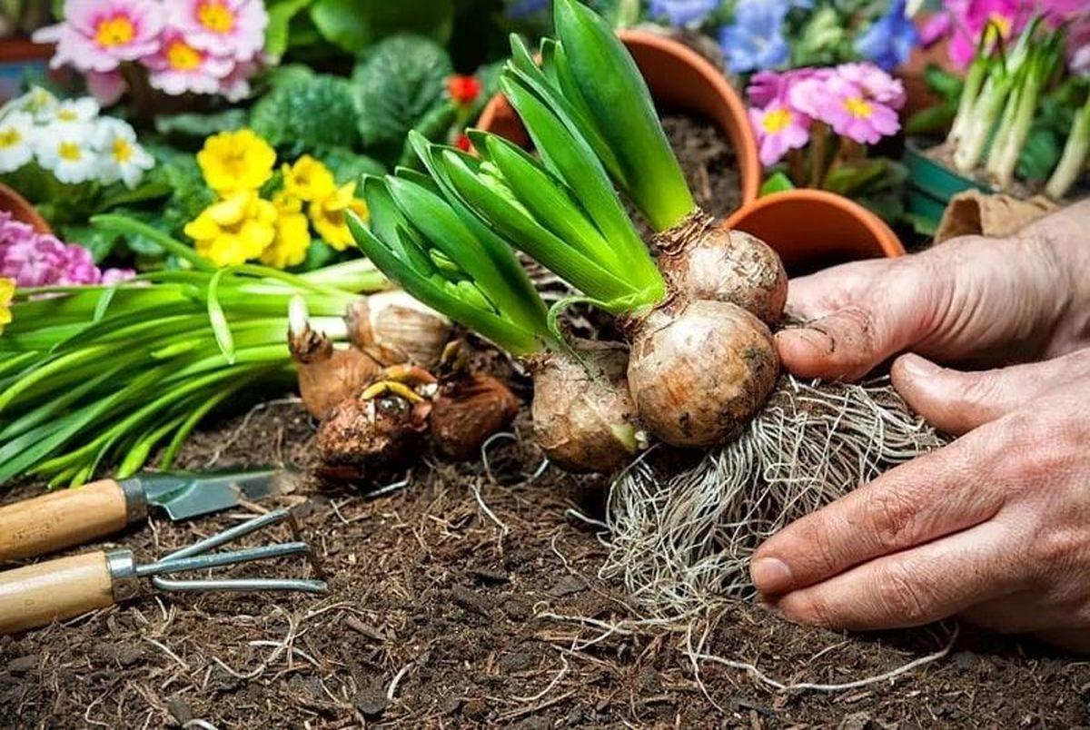 راهنمای خرید پیاز گل و کاشت گیاهان پیازی